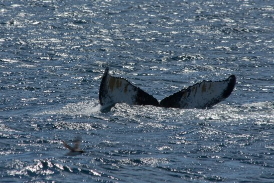 Bay Bulls, Canada: Whale's tail