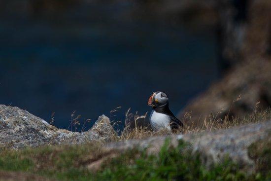 Elliston, Canada: Lonely puffin