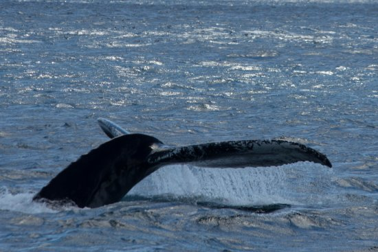 Bay Bulls, Canada: More whale's tail