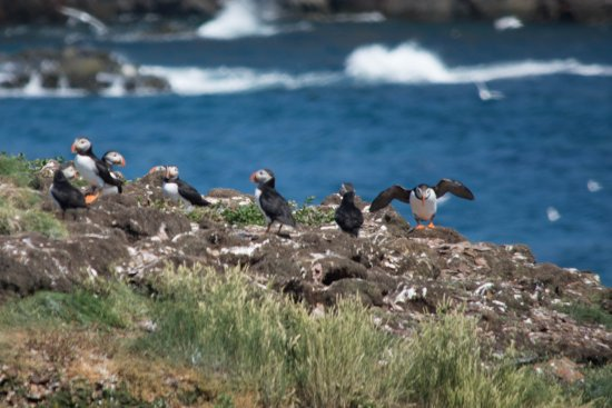Elliston, Canada: more puffins, one ready for take off