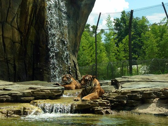 """Jacksonville Zoo & Gardens: """"Lounging Around while people admire out majesty"""" thought the tiger :)"""