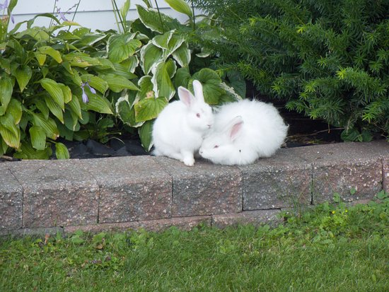Houghton Lake, MI: Don has rabbits he lets run around the property.