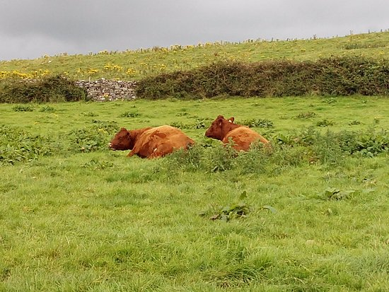 Killala, Ireland: Some peaceful cows -- careful with the atendant cow-pies