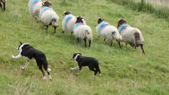 Shanafaraghaun, Ireland: dogs working the sheep