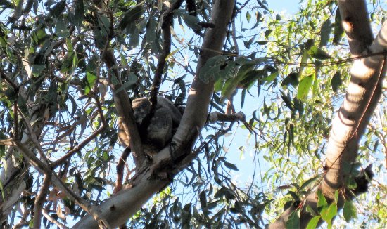 Amity, Australia: Koala close the outdoor kitchen