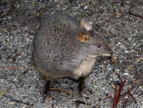 Discovery Parks - Cradle Mountain: Pademelon