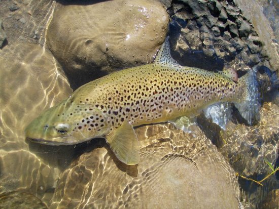 Taupo, Nya Zeeland: Riverstone Fly Fishing Guides New Zealand Fishing