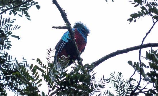 Resplendent Quetzal - Alpha Male in Mirador Rey Tepepul outside of Santiago Atitlan