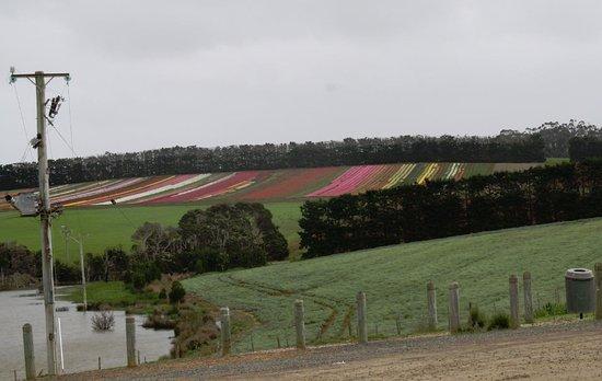 Wynyard, Australia: Tulip Farm from the Lighthouse