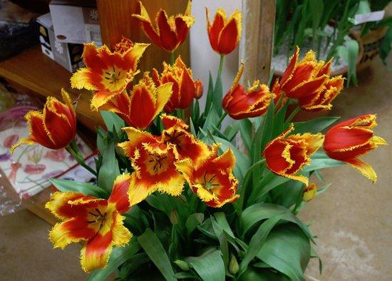 Wynyard, Austrália: Extravagant Tulip