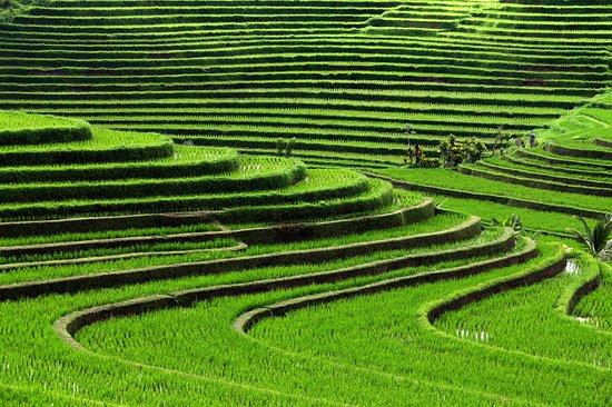The St. Regis Bali Resort: The Lush Rice Field in Jatiluwih Village