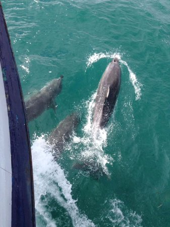 Russell, New Zealand: Dolphins!!!