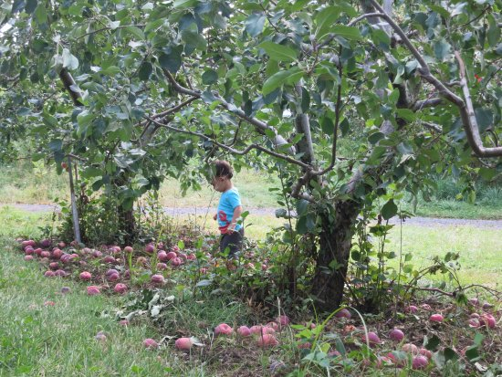 Gotta's Farm and Cider Mill: Lots of apples at every height
