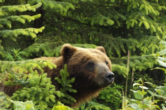 Chichagof Island Tour: Brown Bear ...