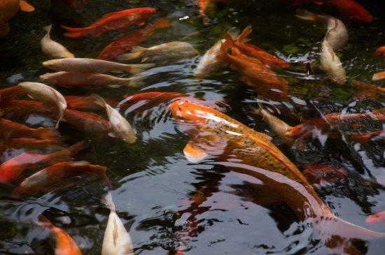 Koi at Byodo-In Temple, Kaneohe, Oahu
