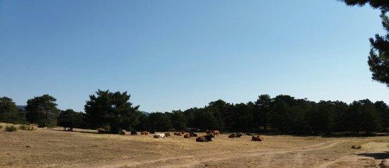 Peguerinos, Spain: Entorno magnífico, ganado.