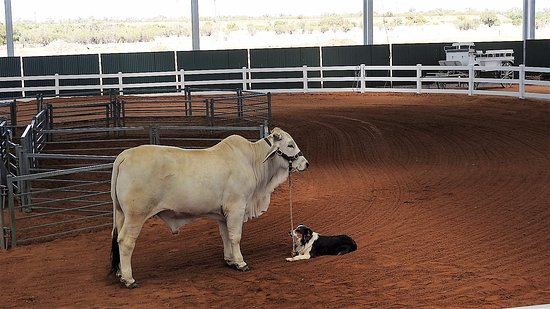 Longreach, Australia: Now this is how to tether your cattle.All part of the great experience we had on the day.