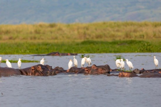 Murchison Falls National Park, Uganda: Hippos are very common sites from the restaurant area
