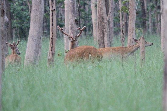 Mailani, อินเดีย: Kishanpur Tiger Reserve Uttar Pradesh