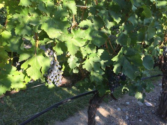 Old Vines Restaurant : Дозревший виноград