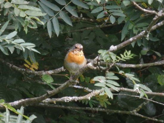 Rowen, UK: A friendly Robin