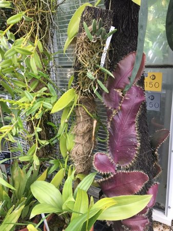 Northampton, MA : Pitcher plant inside greenhouse