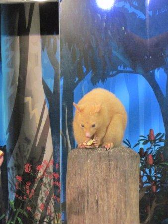 Currumbin, Australië: Possum