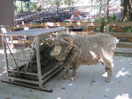 Currumbin, Australië: Sheep