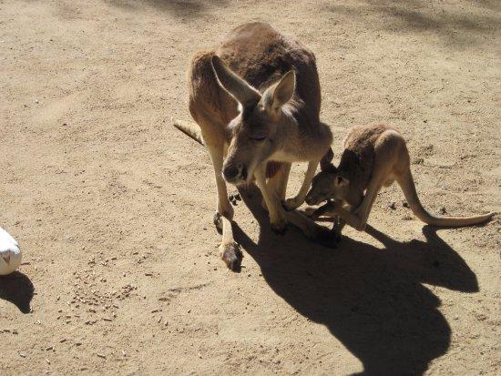 Currumbin, Australië: Red Kangaroos