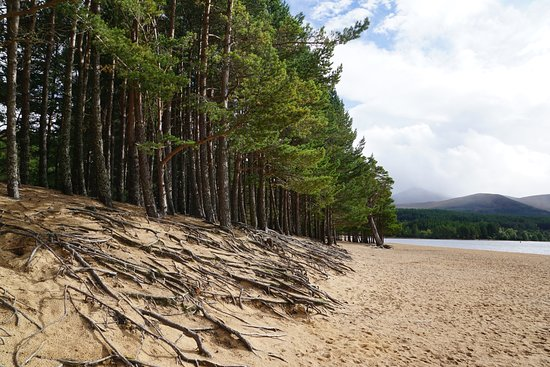 Aviemore, UK: Nice treeline with roots.