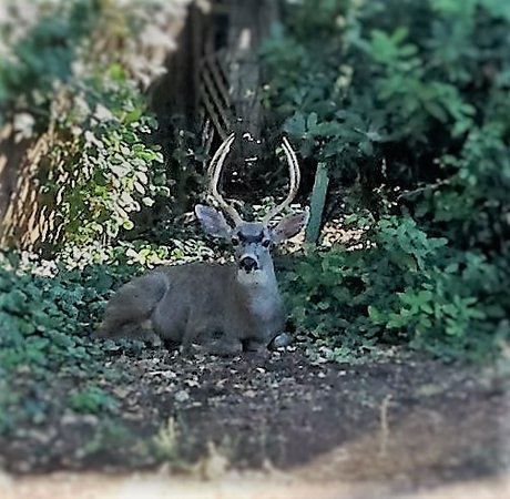 Middletown, CA: Visiting Buck