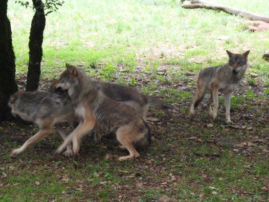 Gramat, Frankrike: Wolves