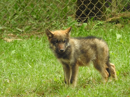 Gramat, Frankrike: Wolf pup