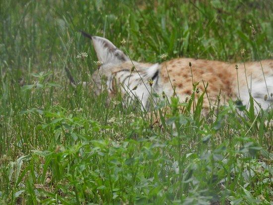 Gramat, Frankrike: Lynx