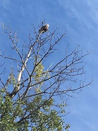Radium Hot Springs, Canada: Our eagle