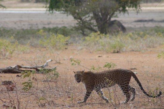 Tissamaharama, Sri Lanka: Il leopardo!!!!