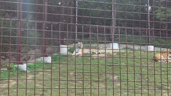 Veszprem Zoo: tigris2