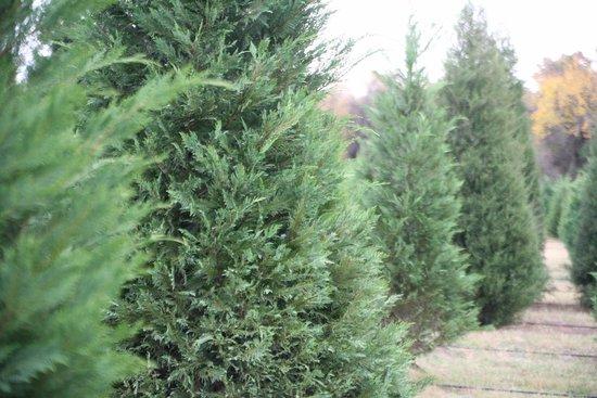 Christmas Tree Farm Photos.Christmas Tree Farm Picture Of Mainstay Farm Cleburne