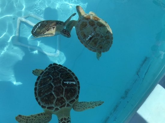 The Turtle Hospital : Turtles gaining strength for release