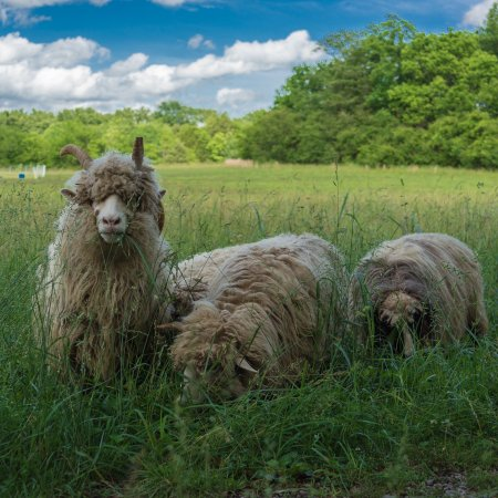 Mulberry, TN: A herd of Navajo Churro Sheep does all the weeding in the lavender and around the farm