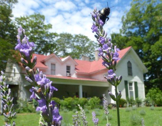 Mulberry, TN: Lavender Sweet Lavender