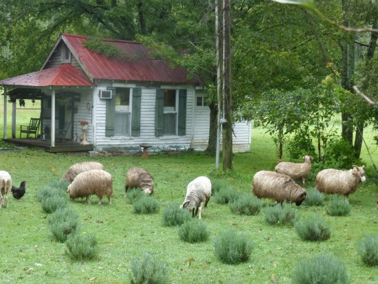 Mulberry, TN: View from the porch - Sheep at Work