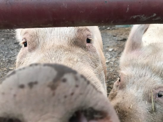 Saugerties, NY: pig kisses