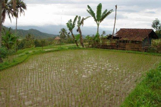 Pantai Lovina, Indonesia: Rice field