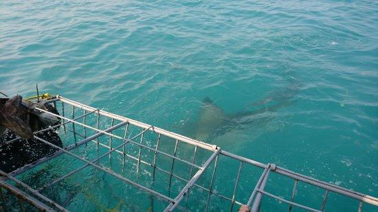 Gansbaai, Sydafrika: White Shark Projects