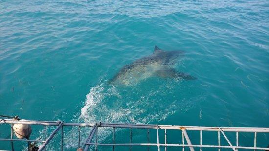 Gansbaai, Republika Południowej Afryki: White Shark Projects