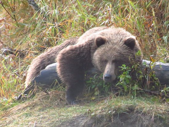 Nikiski, AK: Bear watching us salmon fishing - he was about 100 feet away