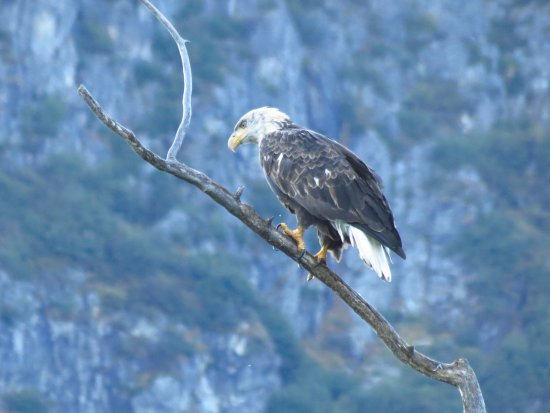 Nikiski, AK: Beautiful eagle watching us fishing - hoping for a free meal