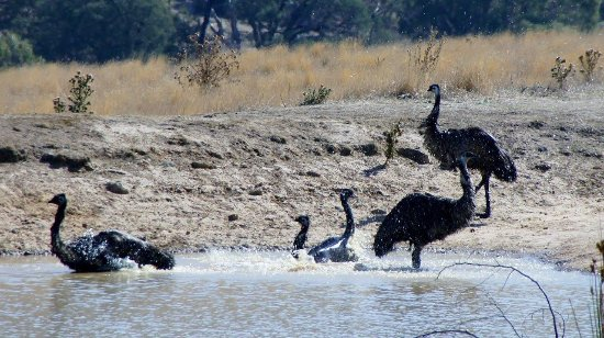 Aquila Eco Lodges: Local Emus having a bath