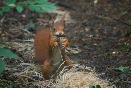 Colwyn Bay, UK: Red Squirrel...